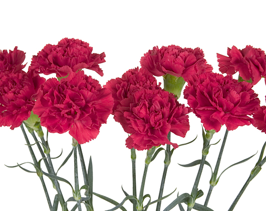 January and Carnations | Flora2000