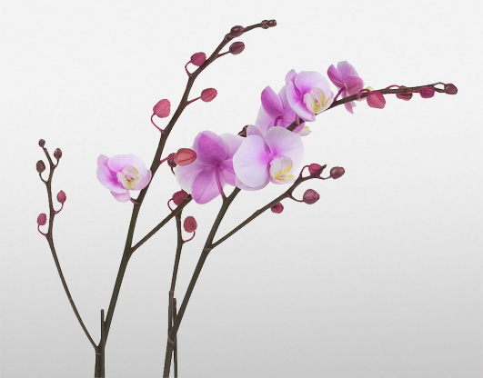 Winter Orchids