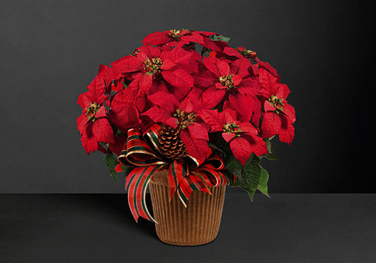 Poinsettia – The Christmas Star