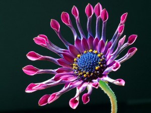 African_daisy_with_studio_lighting
