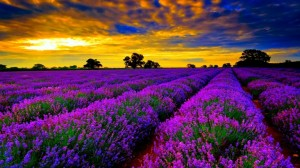 Beautiful-Lavender-Fields-Of-France (2)