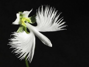 White Egret Orchid picture