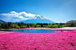 shibazakura_flowers_takinoue_park_3
