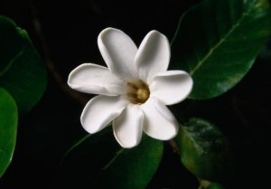 Hawaiian Gardenia 01