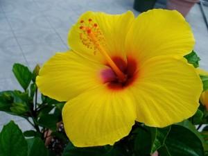 Maʻo hau hele