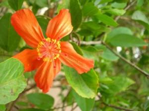 Hibiscus kokio subsp. saintjohnianus
