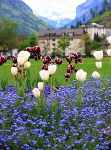 Tulips in Interlaken, Switzerland.