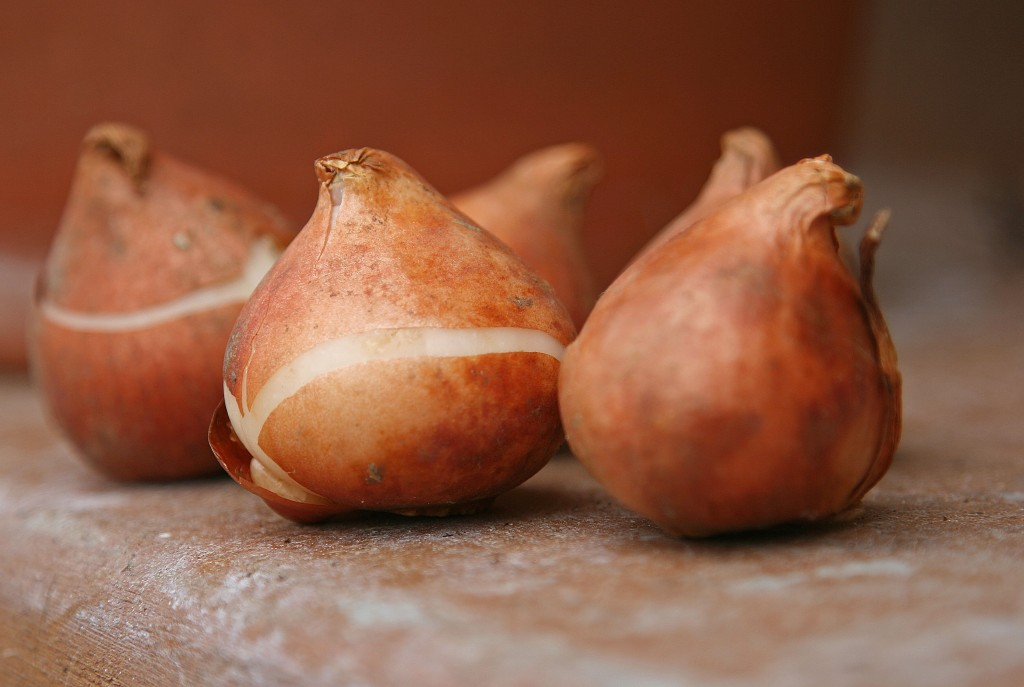 Tulip-bulbs-can-be-substituted-for-onions-in-recipes