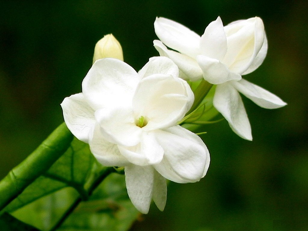 Jasmine All About Flowers – Our Blog