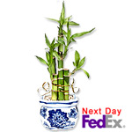 Lucky Bamboo In A Designed Pot Sale! $8 off
