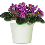 African VioletsSale! $10 off
