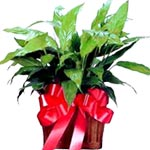 Single Foliage Plant Sale! $ 5 Off