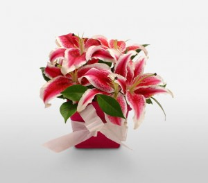 Stargazer Lilies For Mom