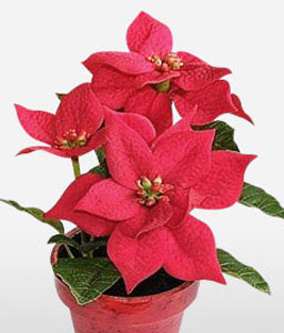 Festive Red Poinsettia-Red,Poinsettia,Plant
