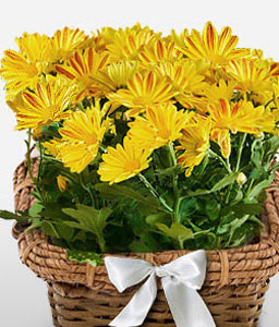 Potted Chrysanthemum-Green,Yellow,Chrysanthemum,Basket,Plant