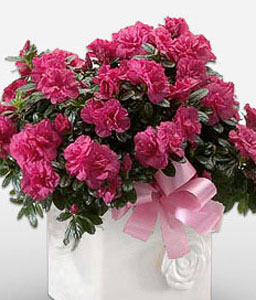 Cherry Delight - Azalea Pot Plant