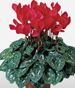 Red Flowering Plant-Red,Plant