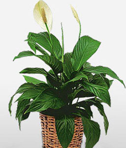 The Pristine Peace Lily-Green,White,Lily,Plant