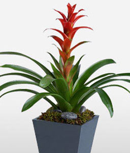 The Tropical Bromeliad-Green,Orange,Plant