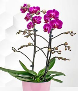 Phalaenopsis Orchids Plant