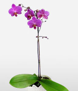 Purple Paradise-Pink,Orchid,Arrangement