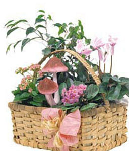 Hint Of Pink-Green,Basket,Plant