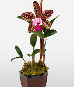 Queens Tribute-Lavender,Purple,Orchid,Plant