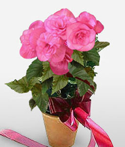 Caraiva Charisma-Pink,Mixed Flower,Arrangement