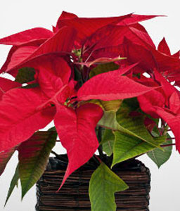 Red Poinsettia-Red,Poinsettia,Arrangement