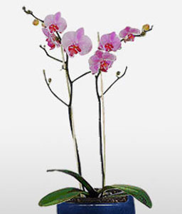 Pink Orchid Plant