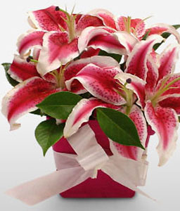 Pink Pomp-Pink,New born baby,Lily,Arrangement