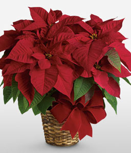 Red Poinsettia Basket-Red,Poinsettia,Plant