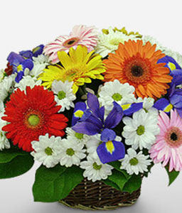 Fiesta-Blue,Mixed,Orange,Pink,Purple,Red,Violet,White,Yellow,Daisy,Gerbera,Iris,Mixed Flower,Arrangement,Basket