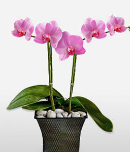 Purple Orchid-Plant