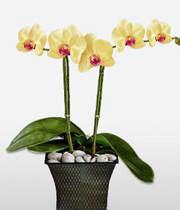Phalaenopsis Yellow Orchids-Plant
