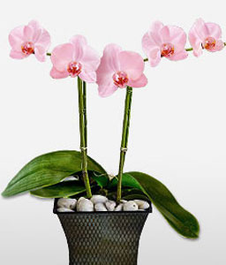 Pink Orchid Plant-Pink,Orchid,Plant