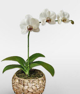 White Dream - Phalaenopsis Orchid Plant