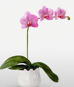 Phalaenopsis Plant In Purple