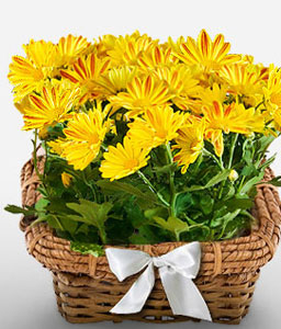Brighten Days-Yellow,Chrysanthemum,Arrangement,Basket,Plant