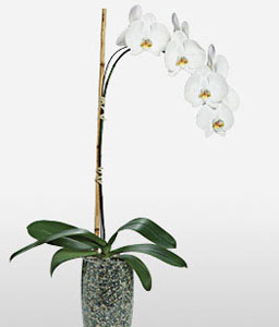 Ivory-White,Orchid,Plant