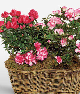 Awesome Azaleas-Mixed,Pink,Red,Mixed Flower,Basket,Plant