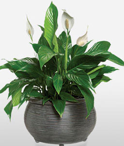 Peace Lily Funeral Plant-Green,Plant