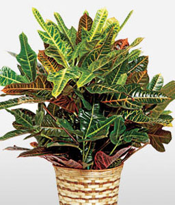 Colorful Potted Croton Plant