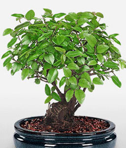 Blissfully Bonsai-Green,Plant