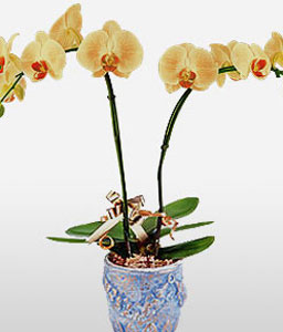 Emperors Selection-Yellow,Orchid,Arrangement