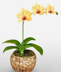 Lemon Beads-Yellow,Orchid,Arrangement,Plant