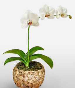 Vision In White-White,Orchid,Arrangement,Plant