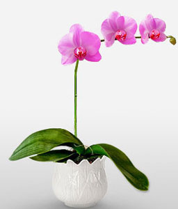 Purple Hearts-Pink,Orchid,Arrangement,Plant