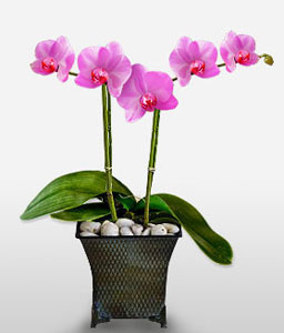 Purple Orchid-Pink,Orchid,Arrangement,Plant
