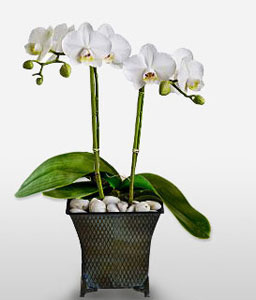White Clouds-White,Orchid,Arrangement,Plant